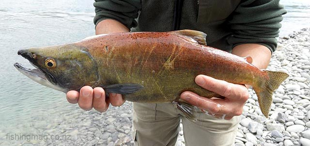 Sockeye salmon - Oncorhynchus nerka