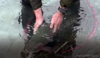 Releasing a big rainbow trout caught in the Ohau A canal. Photo: Allan Burgess. Featured image.