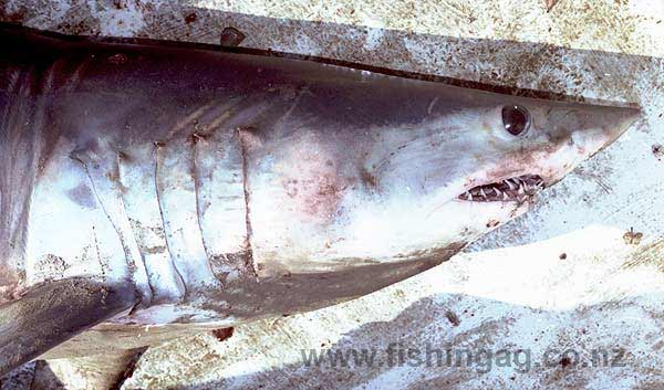 A mako shark which looks cobalt blue when first caught but quickly turns to slate grey.
