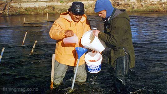 Jack Chandra (yellow coat) and helper mix eggs and water as they move down the planting fork. Taieri River Salmon. Photo Monty Wright. Featured image.