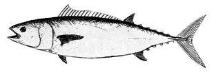 Slender tuna.