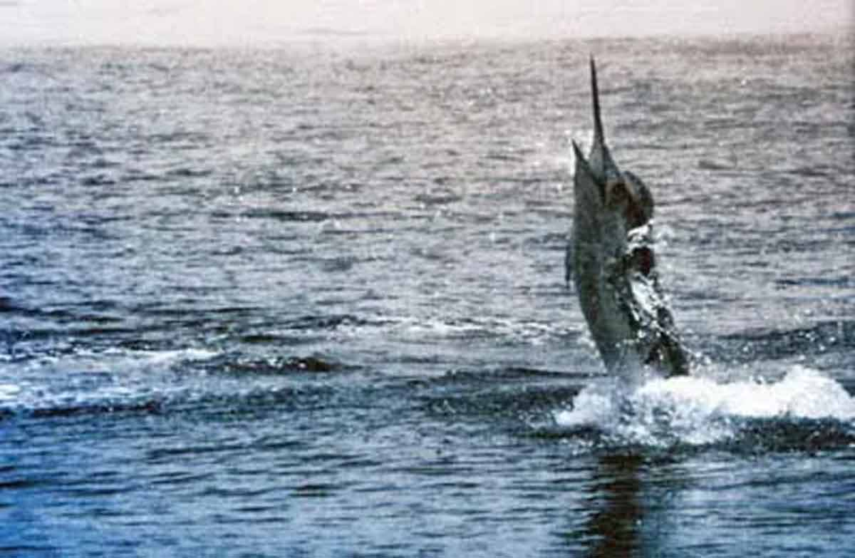 This fish was Neville Neal's biggest marlin caught that summer. A striped marlin weighing 137 kg. All photographs Courtesy of Denis Moresby.