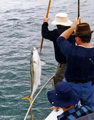 The author with the gaff lifts a big kingfish aboard after it was hooked on a jig in French Pass.