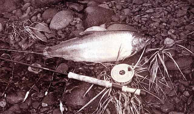 This fish had a condition factor of 58.5. Tongariro River rainbow trout.