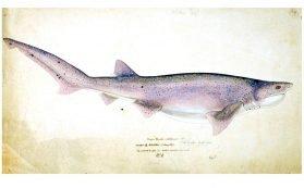 Notorynchus cepedianus (NZ) : Broadsnouted seven-gill shark, 1877, by Frank Edward Clarke. Purchased 1921. Te Papa (1992-0035-2278/128).