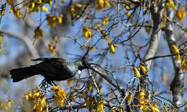 Tui feeding on nectar in the fragrant kowhai trees overlooking the Hapuka walking track.