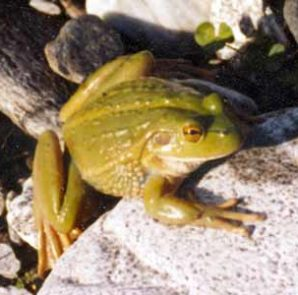 A little green frog similar to the frogs harnessed by Robbie and Bert.