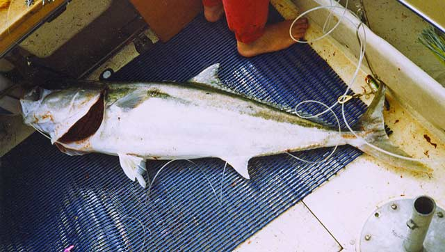 A 20kg plus yellowtail kingfish. Note the 400lb mono trace coming from it's mouth.