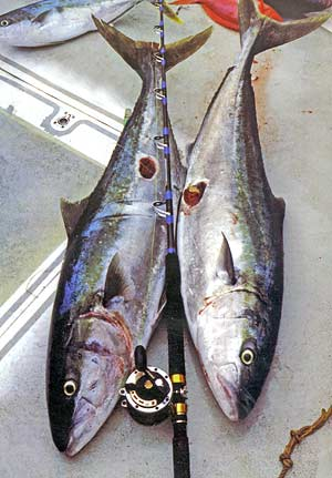 A pair of good sized yellowtail kingfish with matching injuries that are almost certainly thye work of the cookie cutter shark. The kingi on the left weighed 26kg and the other fish 24kg.
