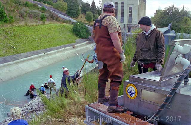 The salmon were then lifted by a human chain up to the waiting tanker. Photograph, Allan Burgess.