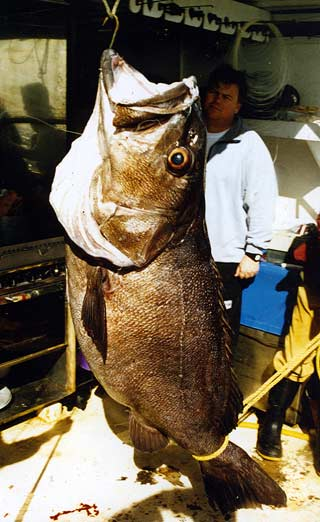 Huge groper/hapuka caught at the Three Kings Islands by Brian Franks of Divers World Christchurch.