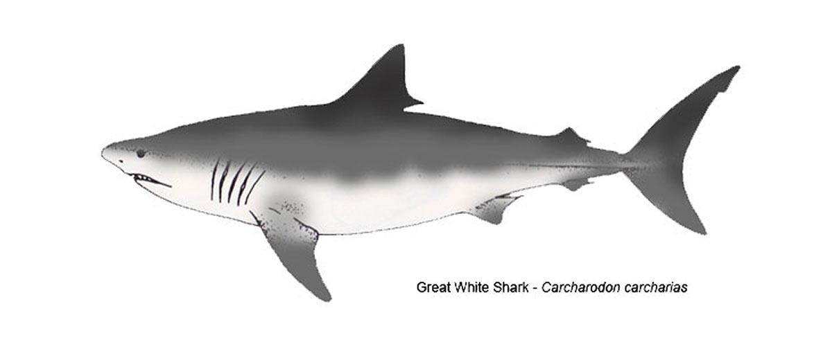 Great white shark line art.