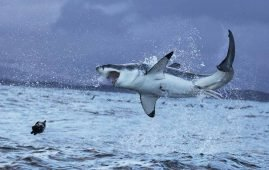 A great white shark hunting a seal. Image by MLbay from Pixabay.