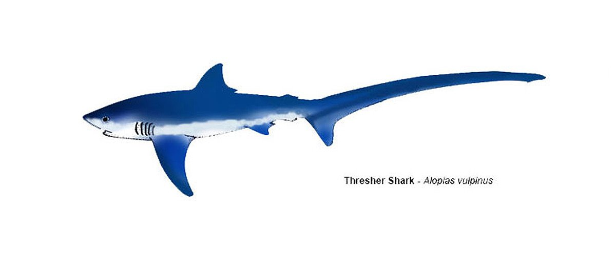 Threasher shark