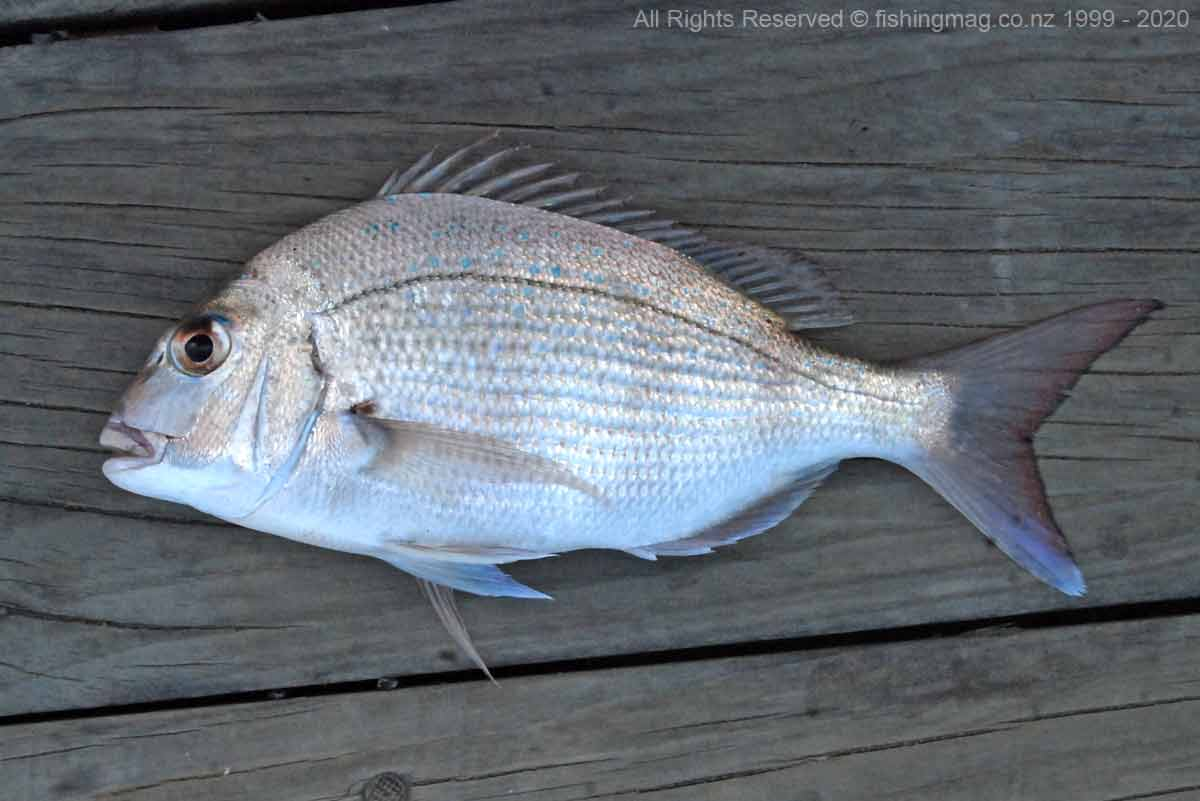 Snapper caught fishing from the wharf at Mapua in early April, the opposite side of the channel from Rabbit Island.
