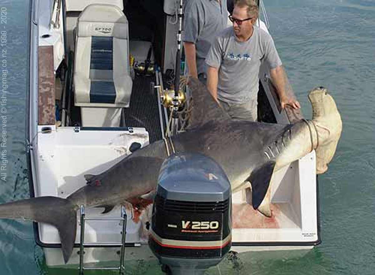 Hammerhead shark - Sphyrna zygaena. Alistair Milne caught this enormous hammerhead shark weighing 159.2kg on 24kg tackle during a Tutukaka Small Boats Tournament.