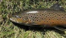 Brown Trout, Lake Emma, Ashburton Lakes trout fishing. Featured image.