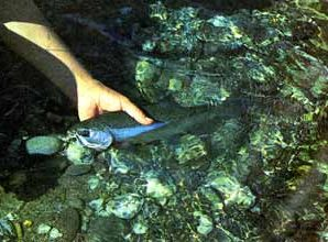 A small Clutha rainbow is carefully released after taking a deadly Hamill's Killer. Featured image.