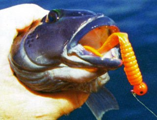 This species will readily bite soft baits fish close to the sea floor.