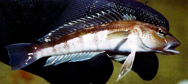 Blue Cod -Parapercis colias.