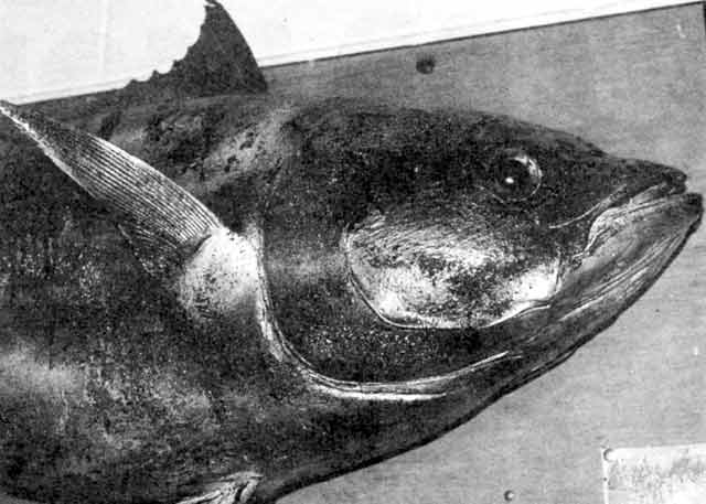 This 63.5kg (140lb) bluefin tuna was taken off Oaro south of Kaikoura some years ago on a deep set long-line.