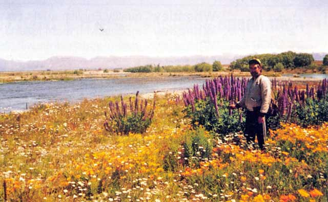 The Tekapo River bed, adorned with daisy, Californian poppy and lupin before the bulldozers had done their work.