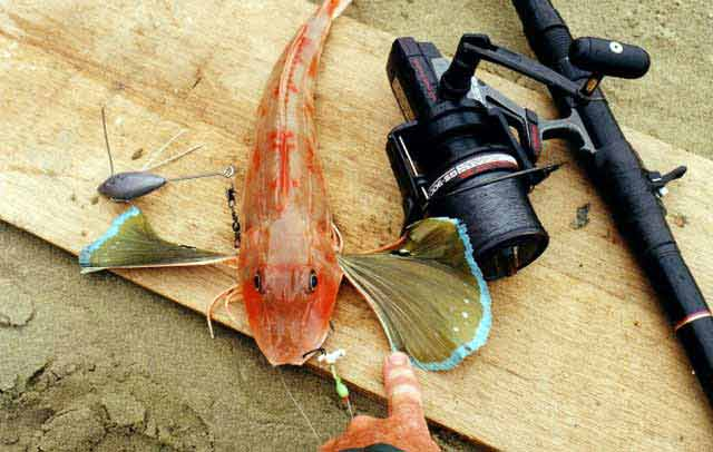 Gurnard, Red - Chelidonichthys kumu - taken surfcasting in the far north of New Zealand. Photograph courtesy of Denis Moresby.