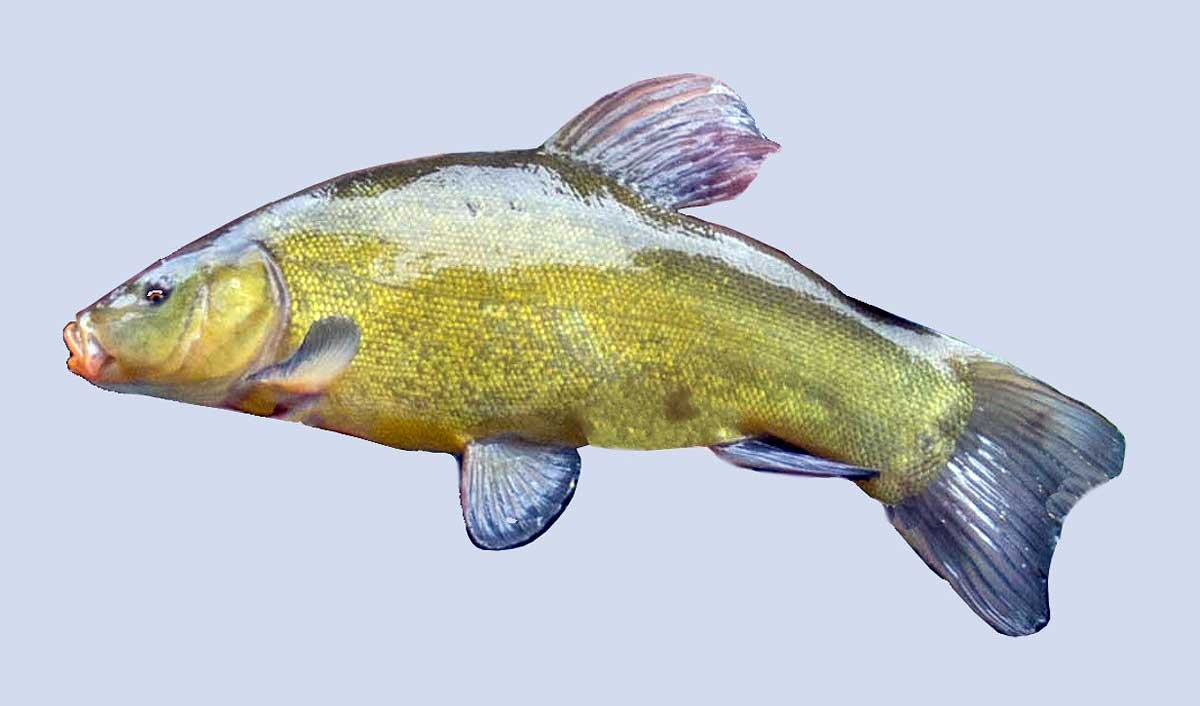 Tench - Image by waldiwkl from Pixabay