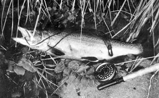 Tongariro River. This fish had a condition factor of 52.