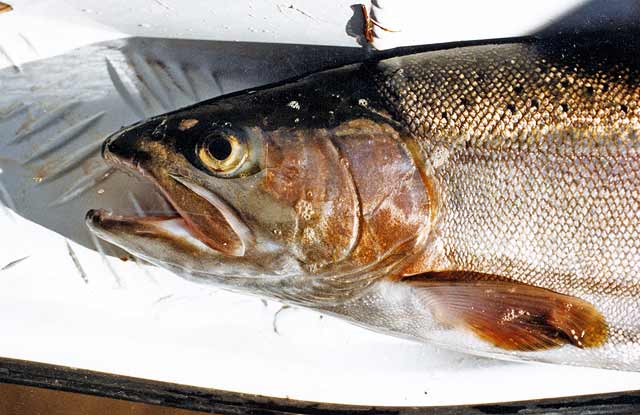 A well-conditioned Lake Benmore rainbow trout.