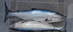 Landlocked Quinnat Salmon - Oncorhynchus tshawytscha caught in Lake Coleridge.