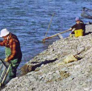 Hurunui River Whitebaiting featured image.