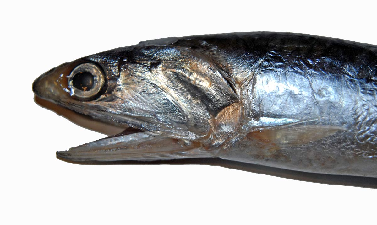 Anchovy – Engraulis australis. It is easily distinguished from other small baitfish by its undershot lower jaw.