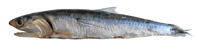 Anchovies are quite fragile. The skin and fins are easily damaged.