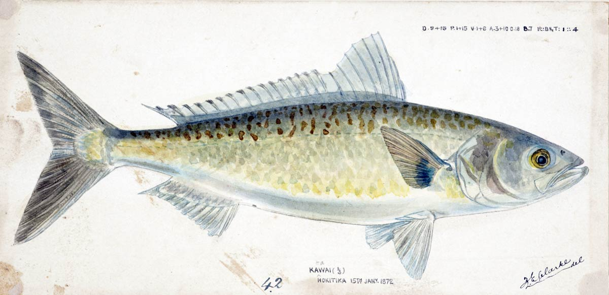 This beautiful watercolour of a kahawai was painted by Frank Edward Clarke at Hokitika in 1872 (149 years ago). Arripis trutta (NZ) : Kahawai, 1872, by Frank Edward Clarke. Purchased 1921. Te Papa (1992-0035-2278/90)