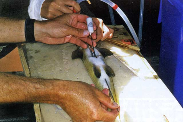 A transmitter being implanted. Featured image, trout tagging.