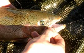 Rainbow trout caught in the Ohau A Canal on a Hare and Copper nymph.