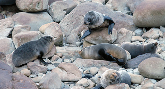 New Zealand fur seals near Ohau Point, Kaikoura.