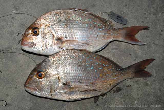 A couple of good snapper from the upper South Island. Snapper time.