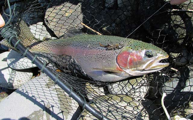 Three and a half pound rainbow caught on a homemade dressed jig by Paul Spicer.