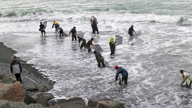 Whitebaiting at the Orari River mouth has been a successful endeavor for those involved. Photograph JOHN BISSET/FAIRFAX NZ.
