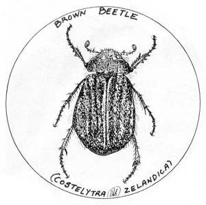 Brown Beetle Costelytra zealandica