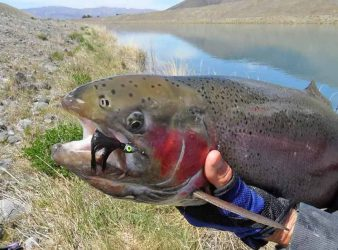 Big rainbow trout from the Twizel Canals taken on a dressed jig.