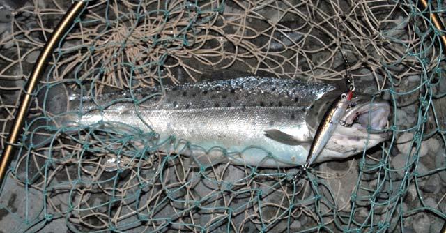 ideThis sea-run brownie was taken in the Waimakariri River, between the bridges, on a Rapala style bibbed minnow.
