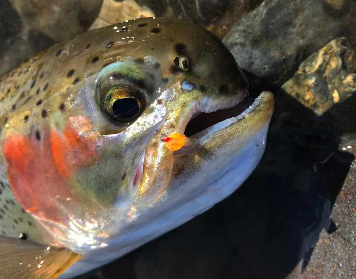 Here is a rainbow trout caught in the Tongariro River during mid winter. Photo courtesy of Connor Andrew. Parrot Beak Syndrome deformed trout.