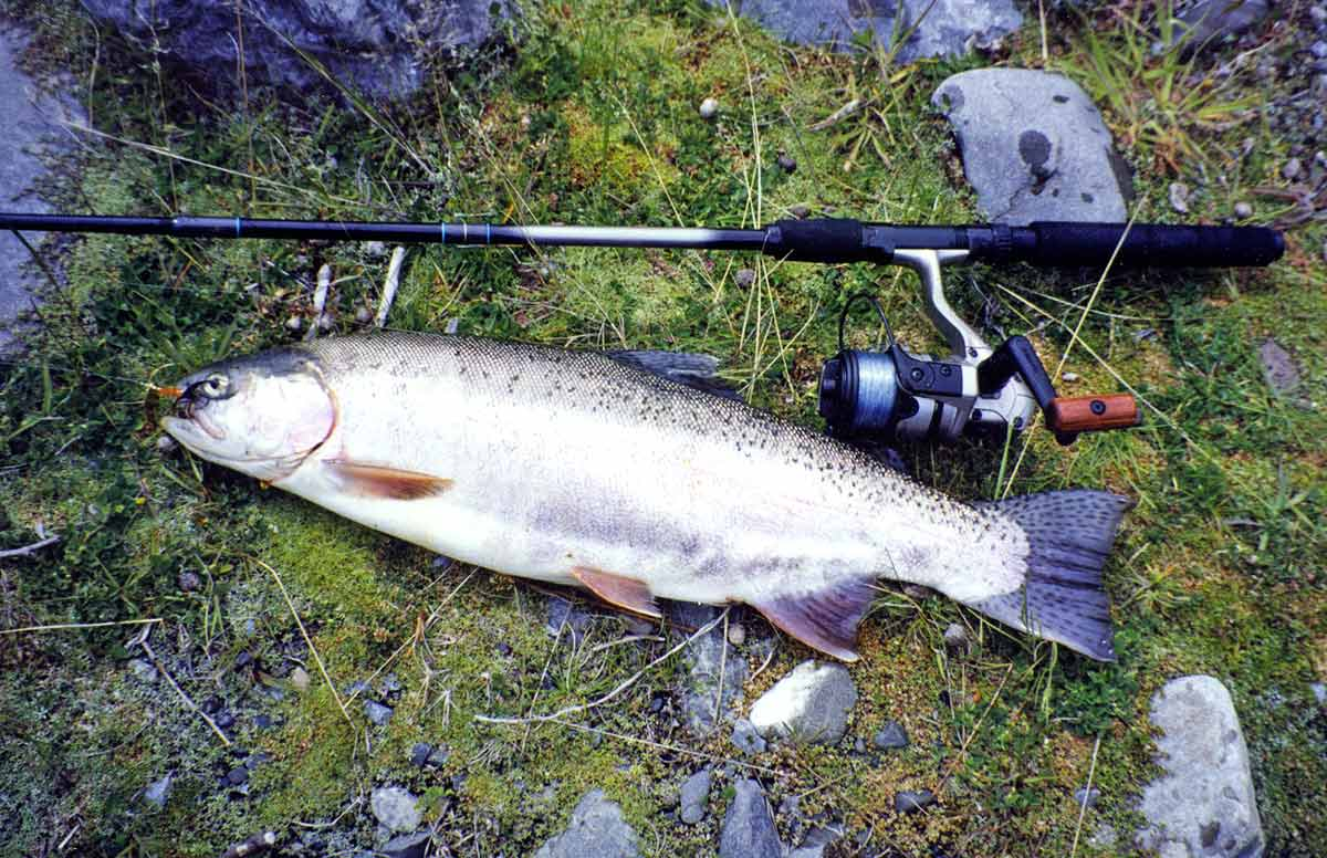 3.5 pound rainbow trout from Broken River.