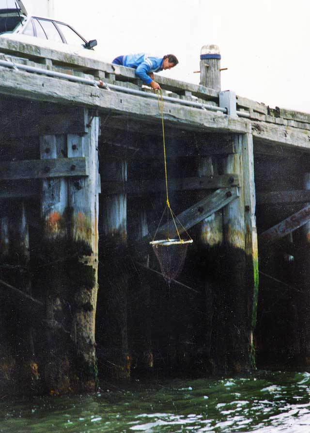 Lowering a drop net. Otago harbour salmon fishing. Position the net under the fish and lift up to the wharf by the rope.
