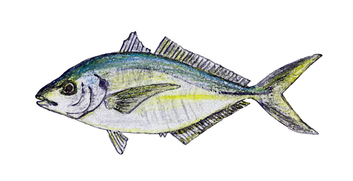 Trevally - Caranx georgianus