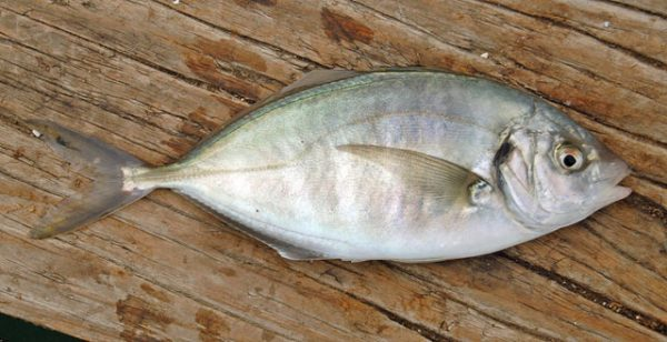 Small trevally from Queen Charlotte Sound.