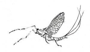 Mayfly.
